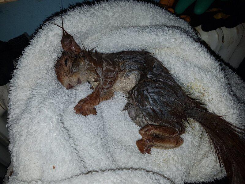 Das Eichhörnchen kurz nach der Befreiung aus dem Kanaldeckel., © Foto: Tierrettung München