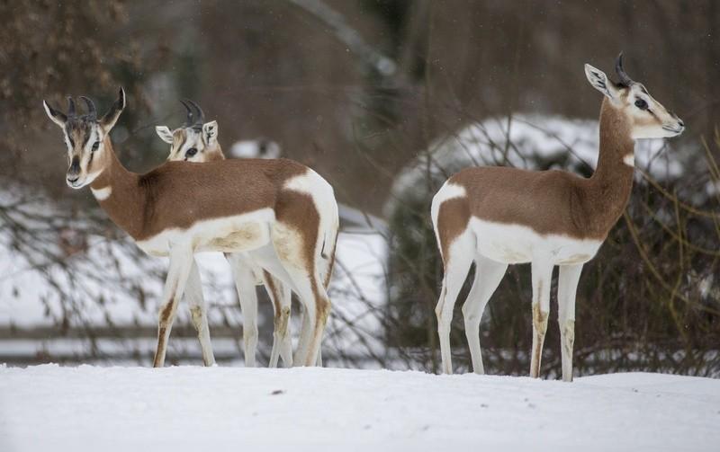 © Mhorrgazellen im Tierpark Hellabrunn - Foto: Marc Müller/Tierpark Hellabrunn