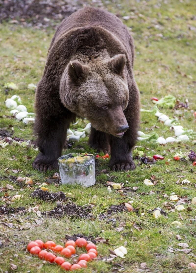 Braunbärin Olga mit ihrem Geschenk zum 40. Geburtstag im Tierpark Hellabrunn, © Tierpark Hellabrunn / Marc Müller