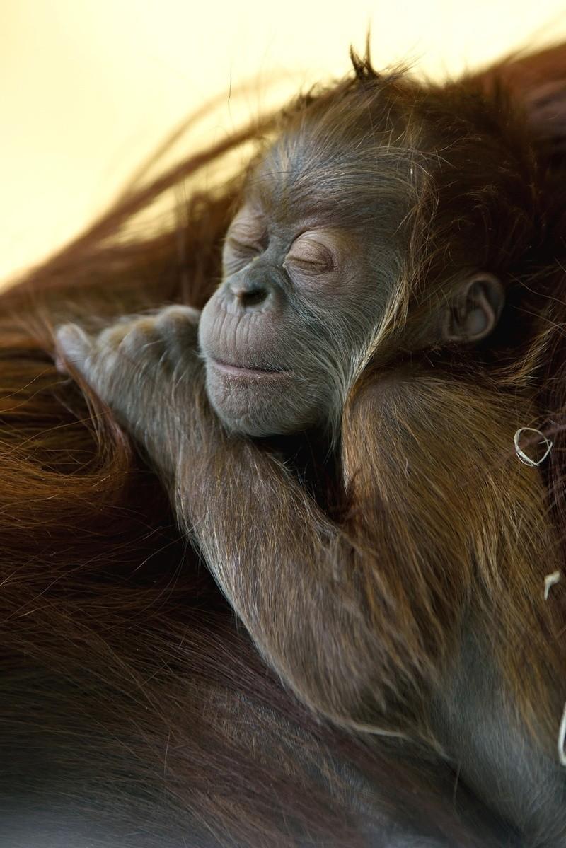 tierpark hellabrunn, orang-utan, jungtier, baby, © Nachwuchs im Tierpark Hellabrunn