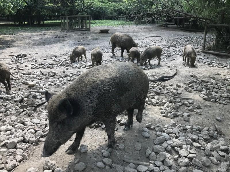 © Wildschweine im Wildpark Poing bei München