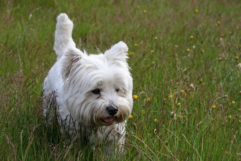 © Beispielfoto: West Highland White Terrier