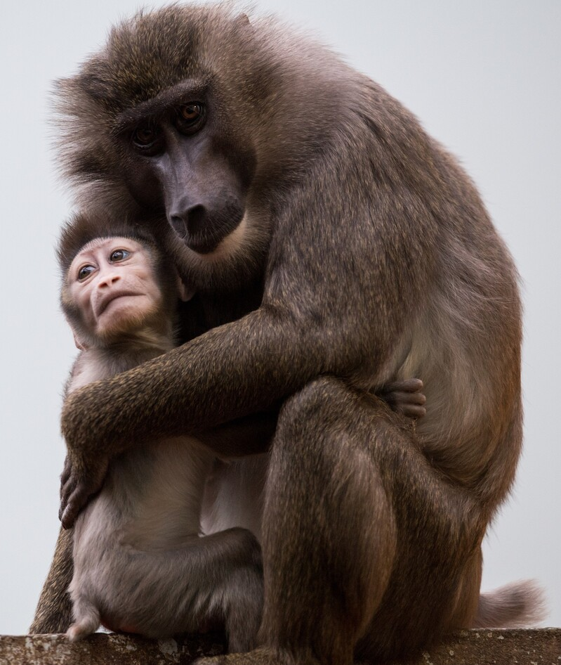 © Drill-Baby Ramos mit seiner Mutter Kaduna. Bild: Tierpark Hellabrunn/Marc Müller