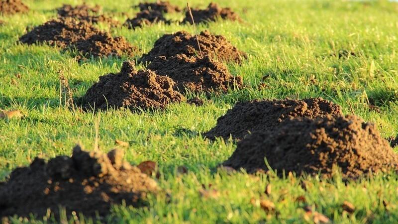 Maulwurfshügel auf einem Feld