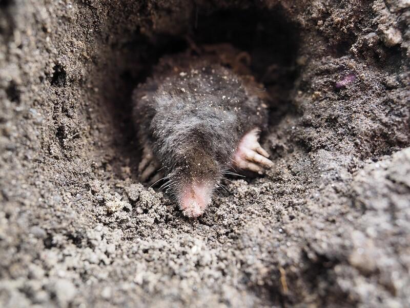 Ein Maulwurf beim Graben in der Erde