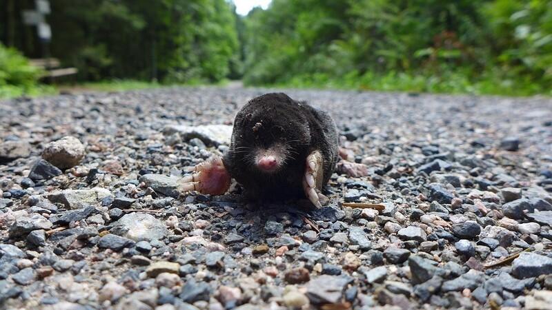 Ein Maulwurf beim Überqueren einer Straße