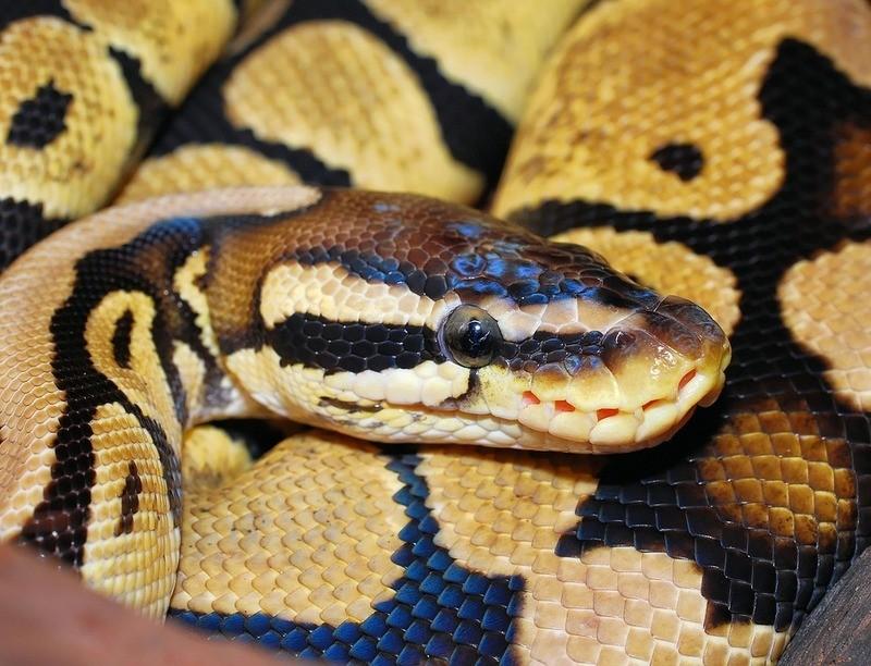 Python, © Symbolbild
