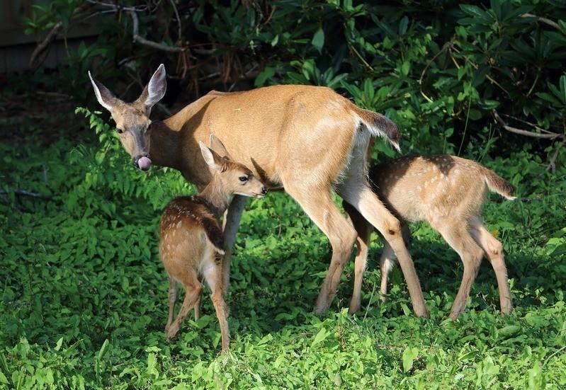 Rehkitze mit Mutter, © Symbolbild