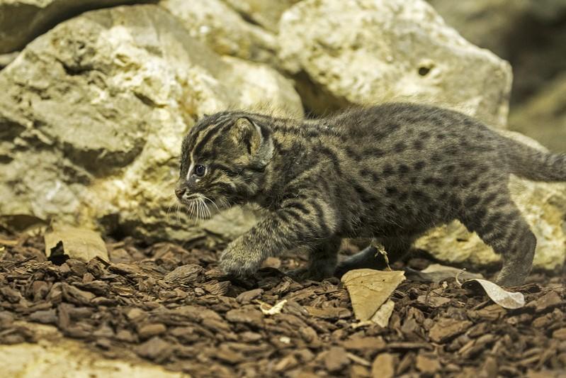 Junge Fischkatze, © Tierpark Hellabrunn / Maria Fencik