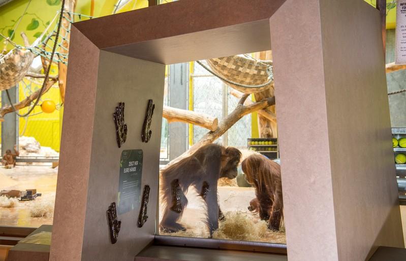 Orang-Utan an Scheibe, © Tierpark Hellabrunn/Marc Müller