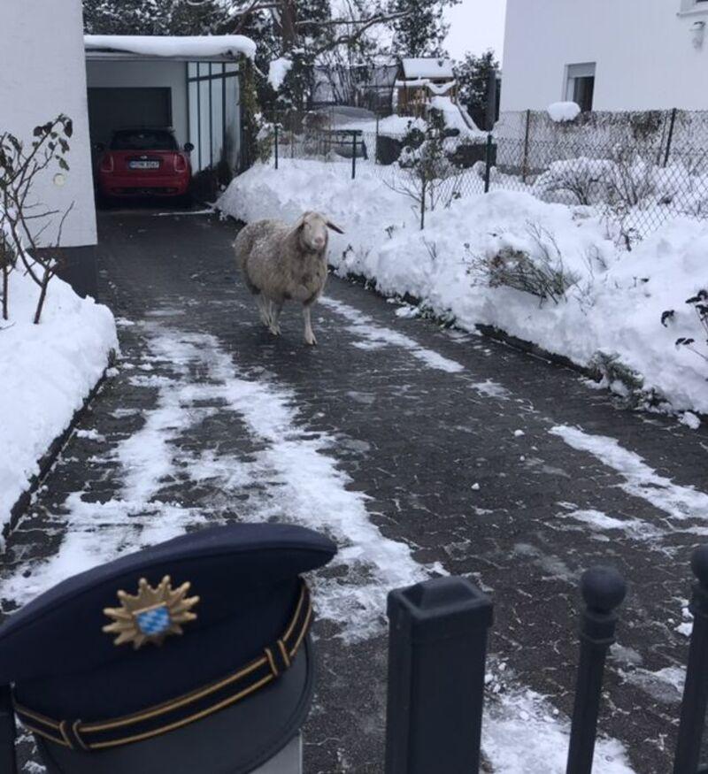 Schaf läuft auf Straße – Polizeieinsatz in Aubing, © Foto: Polizei