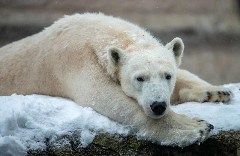 Eine Eisbärin liegt auf dem verschneiten Boden im Tierpark Hellabrunn, © Tierpark Hellabrunn / Dennis Reininger