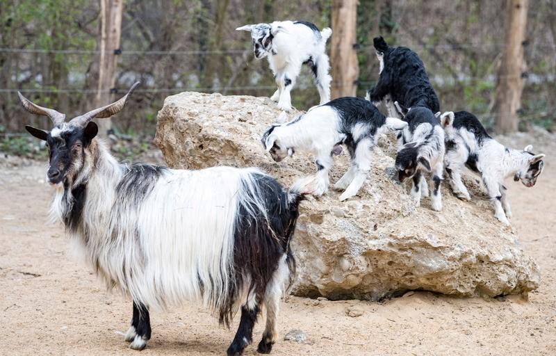 Bulgarenziegen im Tierpark Hellabrunn, © Bilder: Tierpark Hellabrunn / Marc Müller