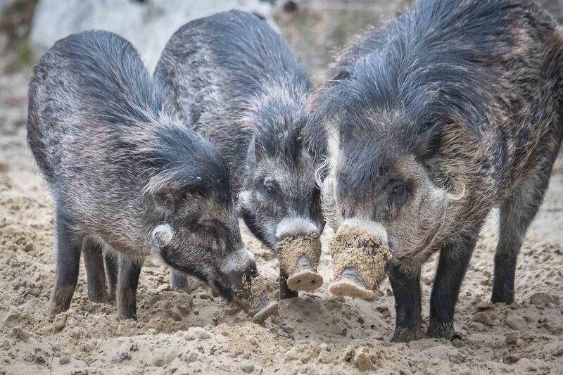 Eine Rotte Visayas-Pustelschweine im Münchner Tierpark., © Bilder: Tierpark Hellabrunn / Daniela Hierl