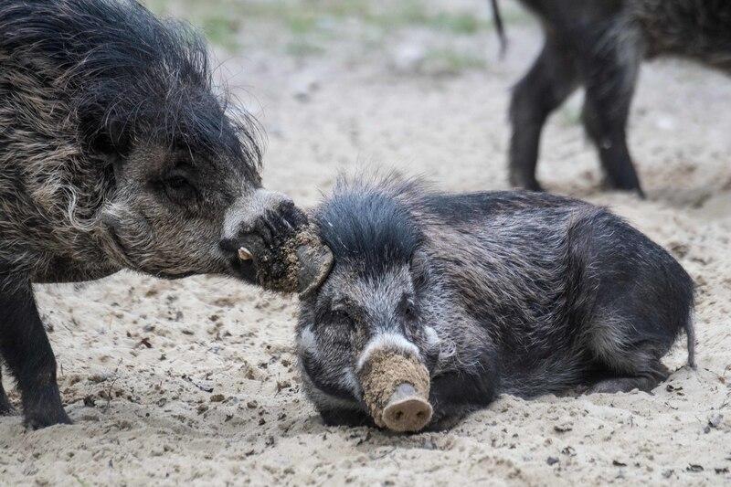 Visayas-Pustelschweine, © Bilder: Tierpark Hellabrunn / Daniela Hierl