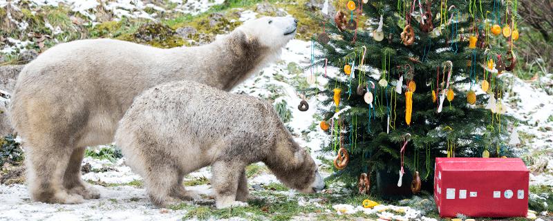 Auch Eisbären freuen sich an Weihnachten über Geschenke, © Foto: Tierpark Hellabrunn / Marc Müller