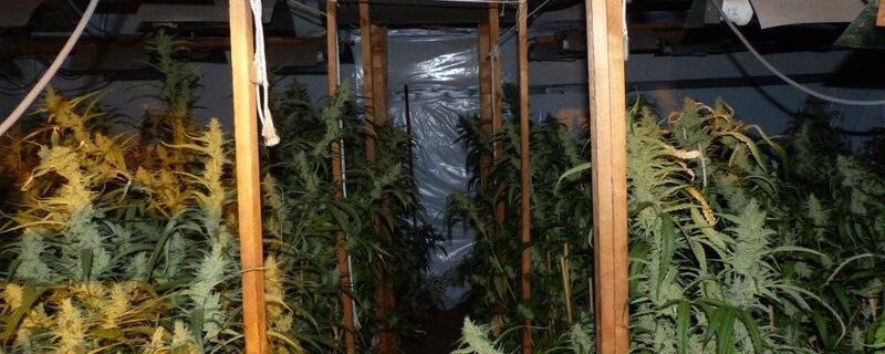 Marihuana-Pflanzen-Bayern-1, © LKA