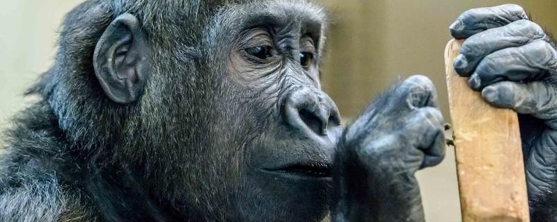 neuer gorilla hellabrunn tierpark , © Foto: Herrmann Vollmer