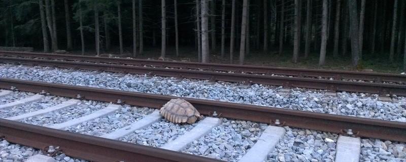 Riesenschildkröte in den Bahngleisen, © Foto: Bundespolizei  Eine Riesenschildkröte ist in den Bahngleisen zwischen München und Erdig aufgetaucht