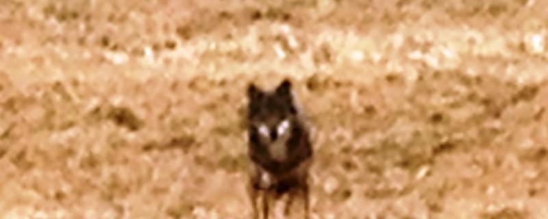 Kommt der Wolf nach Bayern zurück?