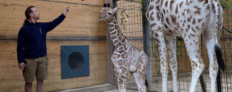 Giraffe Kabonga im Tierpark Hellabrunn in München, © Münchener Tierpark Hellabrunn AG