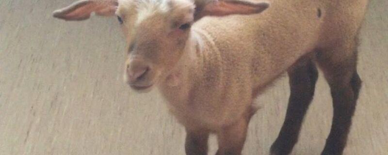 Dieses Schaf fand man in einem Bordell in Pasing. , © Dieses Schaf fand man in einem Bordell in Pasing. Foto: Polizei München