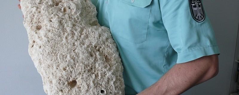 Steinkoralle vom Zoll beschlagnahmt, © Beschlagnahmte Steinkoralle - Foto: Copyright: BFV