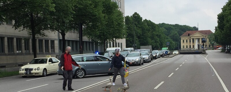 Prinzregentenstraße - Sperrung wegen Gänsen auf der Fahbahn, © Straße gesperrt - Hier werden die Gänse sicher ans Ziel gebracht - Foto: Polizei München