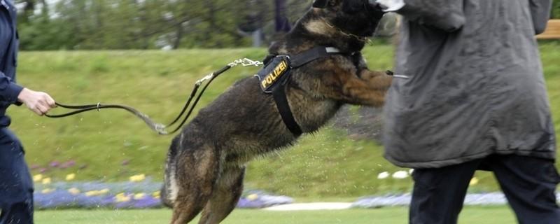 Polizeihund beim Training, © In Bayern ist die Zahl der Verletzten durch Hundebisse. Foto: Polizeihund beim Training