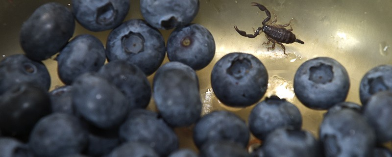 Skorpion in Heidelbeeren, © Dieser kleine Skorpion tauchte im Obstsalat auf - Foto: Berufsfeuerwehr München