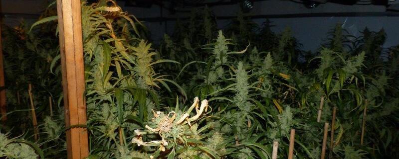 Marihuana-Jamaica-Rasta-Dopehead-Pot, © Marihuana-Fund: LKA-Bild eines ähnlichen Einsatzes