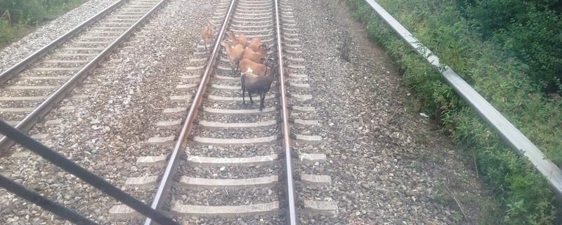Ungewohnte Entdeckung auf den Gleisen, Schafe, © Der Zugführer macht eine ungewohnte Entdeckung auf den Gleisen  - Foto: Bundespolizei