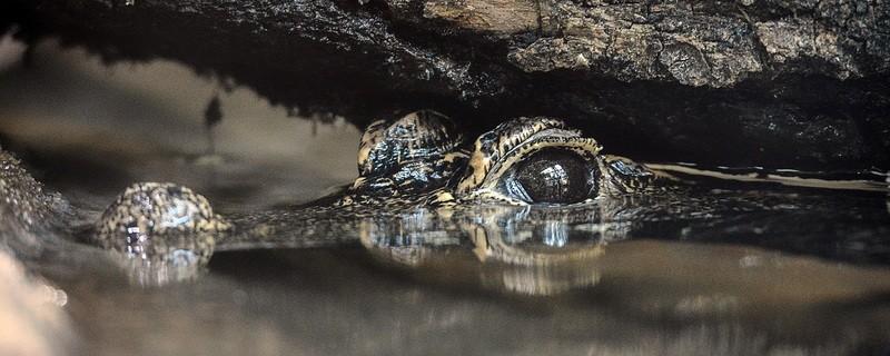 Ein Stumpfkrokodil Männchen im Wasser, © Robert Bihler/Tierpark Hellabrunn