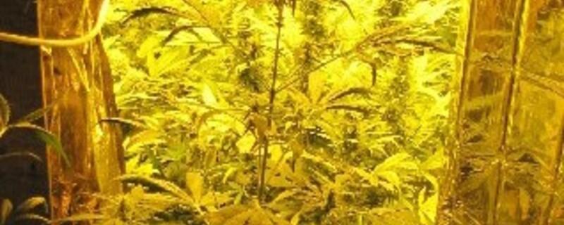 Cannabispflanzen , © Foto: Polizei