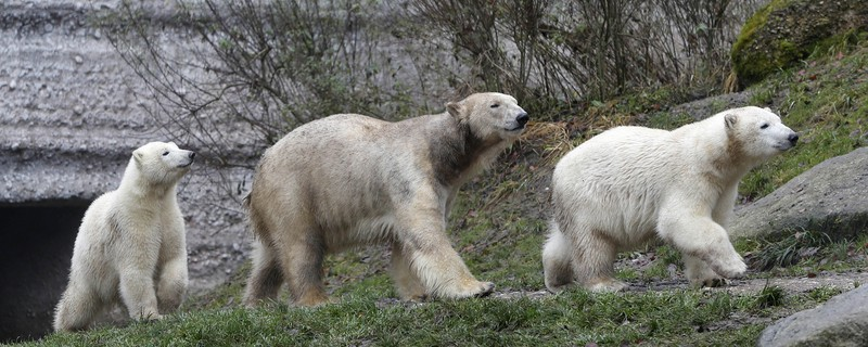 Eisbärbabys feiern zweiten Geburtstag im Tierpark Hellabrunn, © Die Eisbärzwillinge mit ihrer Mutter - Foto: Tierpark Hellabrunn/Michaela Rehle