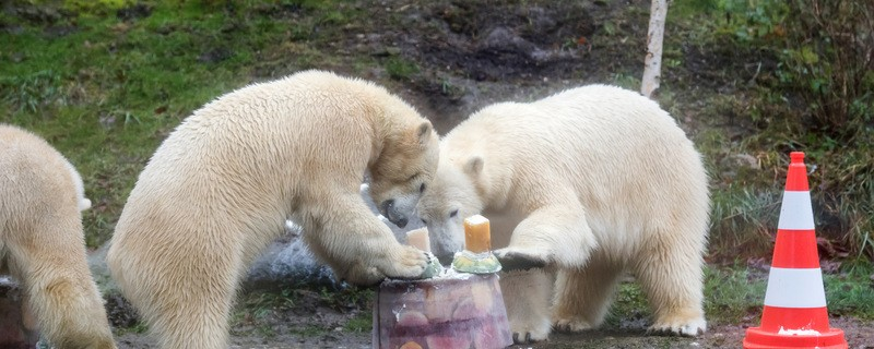 Eisbärbabys feiern zweiten Geburtstag im Tierpark Hellabrunn, © Die Eisbären mit ihrer Mutter - Foto: Tierpark Hellabrunn/Joerg Koch