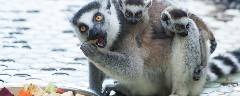 © Die kleinen Lemuren lieben es, auf dem Rücken der Mama herumzuturnen. Foto: Sebastian Widmann/Tierpark Hellabrunn