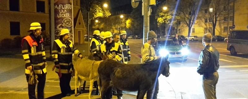 An einer Ampelkreuzung stehen Einsatzkräfte mit zwei eingefangenen Eseln , © Feuerwehr und Polizei helfen Zirkustiere einzufangen