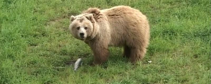 Ein Braunbär steht auf einer grünen Wiese , © Symbolfoto eines Braunbären