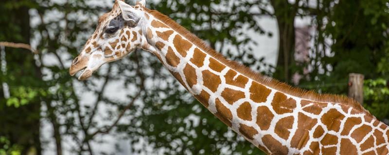 © Giraffe im Zoo - Foto: Tierpark Hellabrunn/Marc Müller