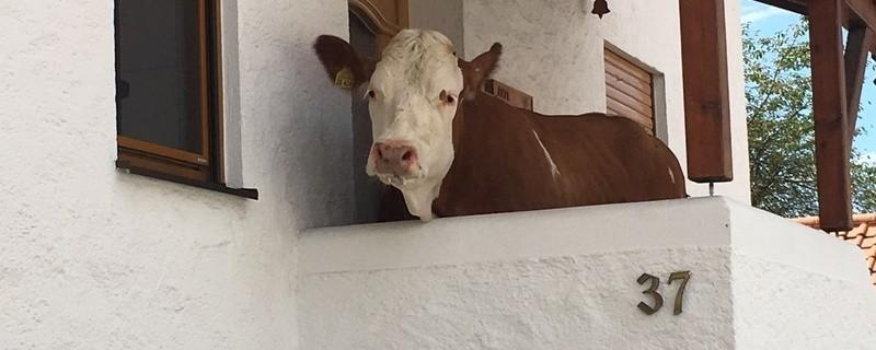 Eine Kuh steht vor einer Haustüre , © Foto: Polizei Rosenheim