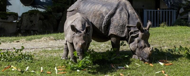 Panzernashorn-Nachwuchs Puri feiert ersten Geburtstag, © Foto: Tierpark Hellabrunn / Marc Müller