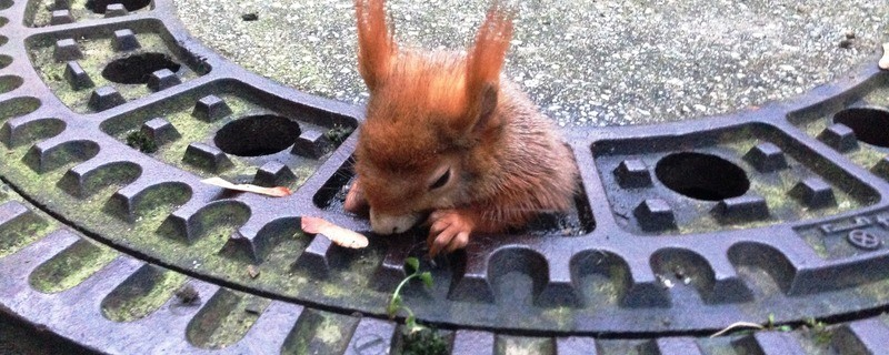 Das Eichhörnchen hat sich in dem Kanaldeckel verfangen., © Foto: Tierrettung München
