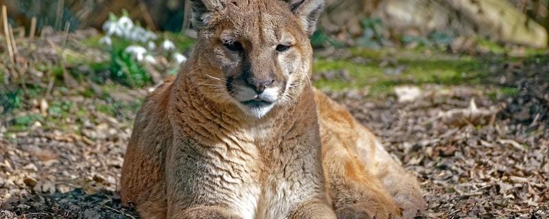 Puma im Tierpark Hellabrunn, © Tierpark Hellabrunn/Michael Matziol