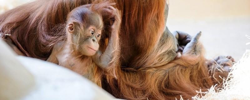 Orang-Utan-Baby laust sich, © Foto: Tierpark Hellabrunn/Marc Müller
