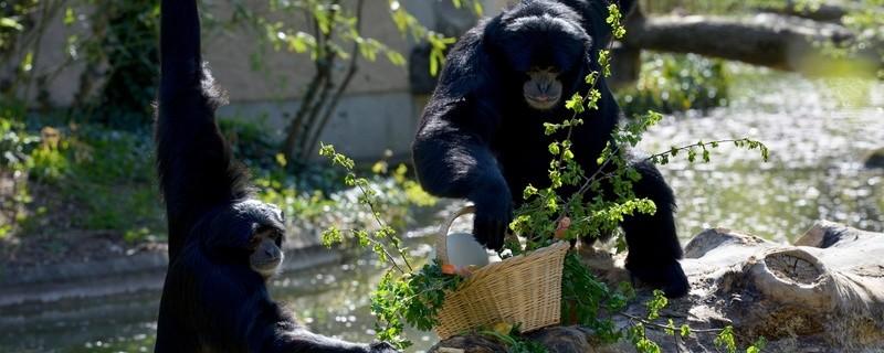 Siamang-Pärchen mit ihrem Ostergeschenk, © Foto: Tierpark Hellabrunn