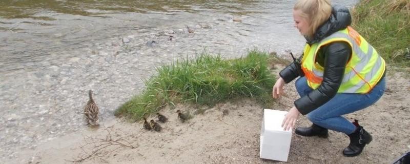 Enten aus Grünwald von Polizei gerettet