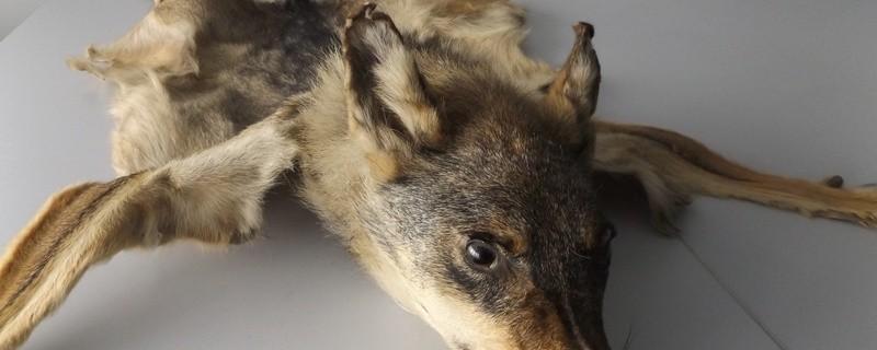 Das Hauptzollamt München hat bei einer Kontrolle einen präparierten Wolf entdeckt, © Copyright: BFV/Zoll