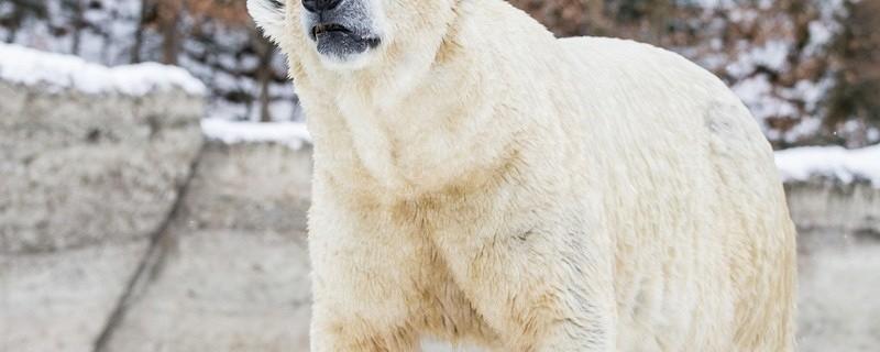 Quintanas Papa Eisbär Yoghi starb an Nierenversagen, © Tierpark Hellabrunn