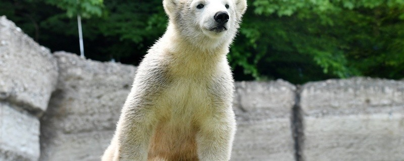 Eisbären-Nachwuchs Quintana, © Foto: Tierpark Hellabrunn
